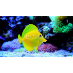Yellow Tang (Zebrasoma flavescens) 64239