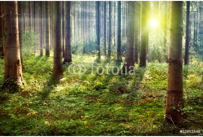 Forest Sunset 64239