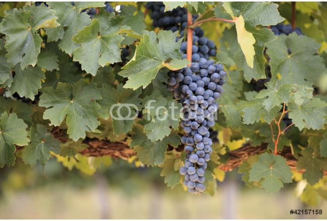 Bunch of ripe red grapes on vine 64239