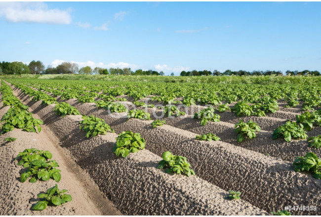 Young and fresh green potato plants close 64239