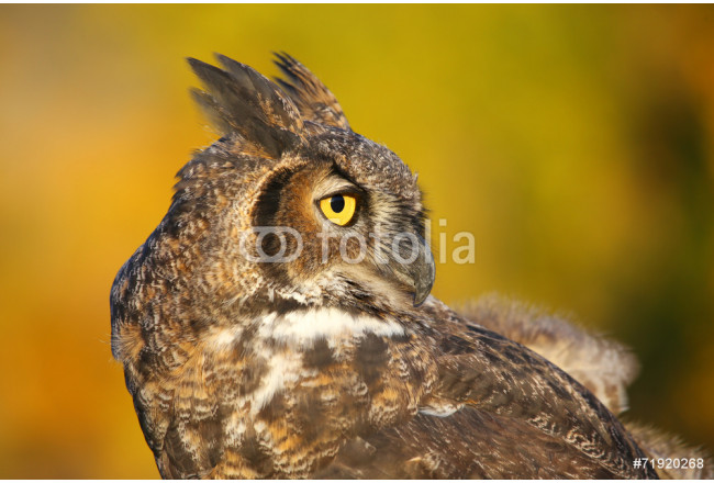 Portrait of Great horned owl 64239
