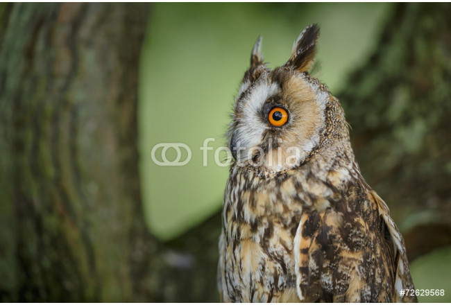 Long-eared owl close-up 64239