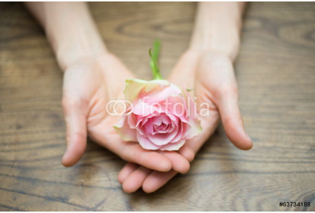 Open hands holding pink rose on wood 64239