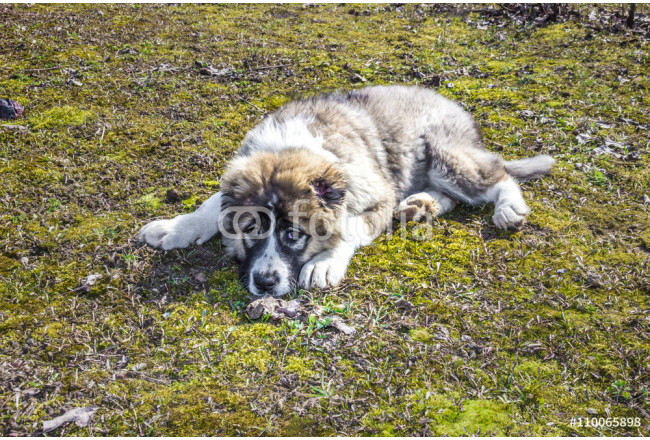 Fluffy Caucasian shepherd dog is lying on the ground 64239