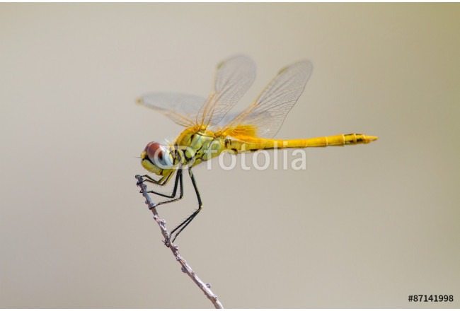Yellow dragonfly 64239
