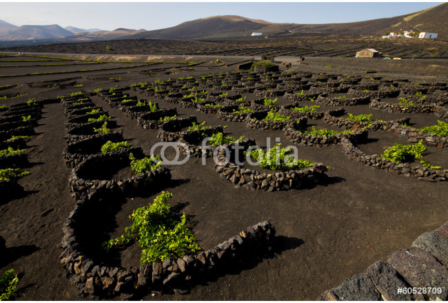 cultivation home viticulture  winery lanzarote vine screw grapes 64239