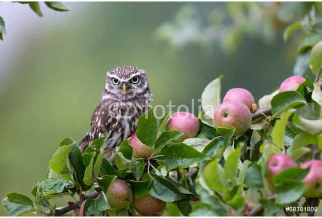 Little Owl In Orchard 64239