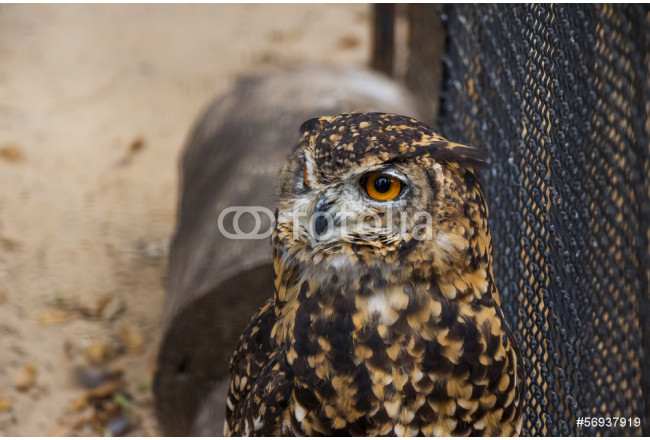 A Portrait of a Cape Eagle Owl in Captivity 64239