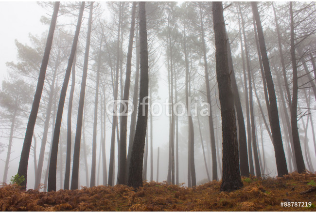 Misty Forest 64239
