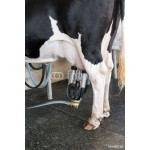 Dairy cow. cow in a farm 64239