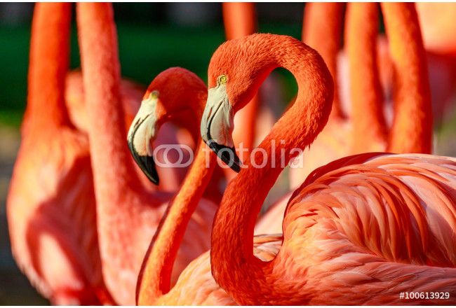 Flamboyance of Flamingos 64239
