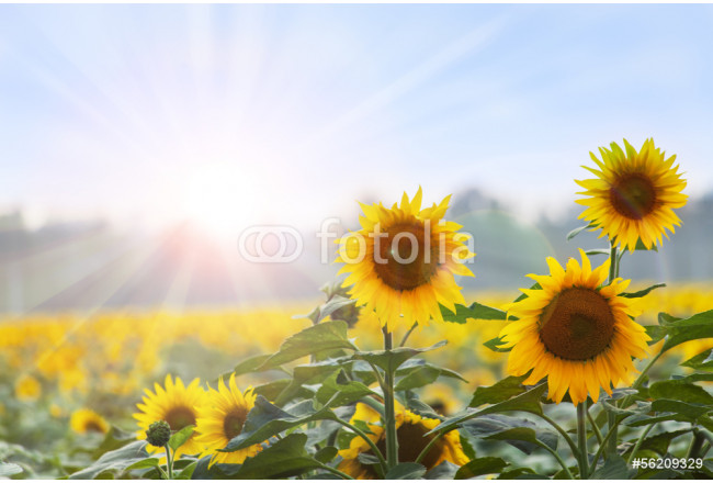Summer time: Three sunflowers at dawn with natural backgroung 64239