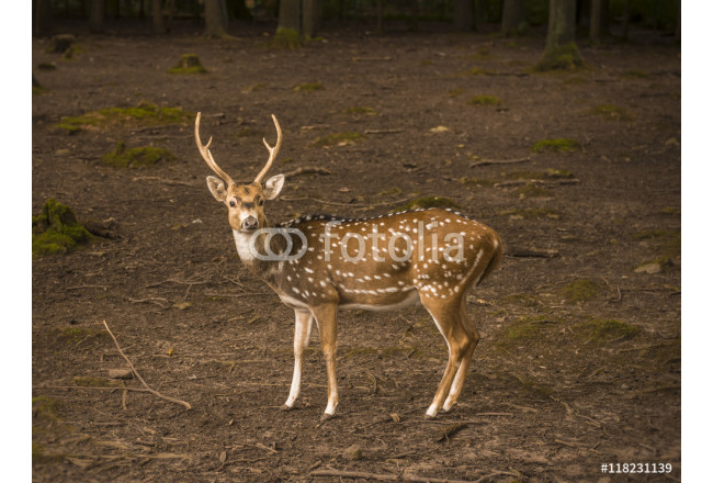 Spotted deer male profile image