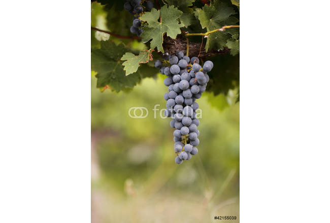 Bunch of black grapes on vine 64239