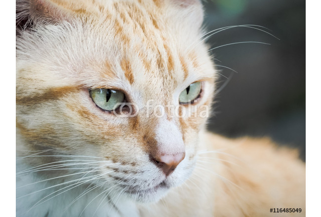 Portrait of cat, Selective focus and close up  64239
