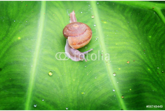 Small brown snail on a green leaf 64239