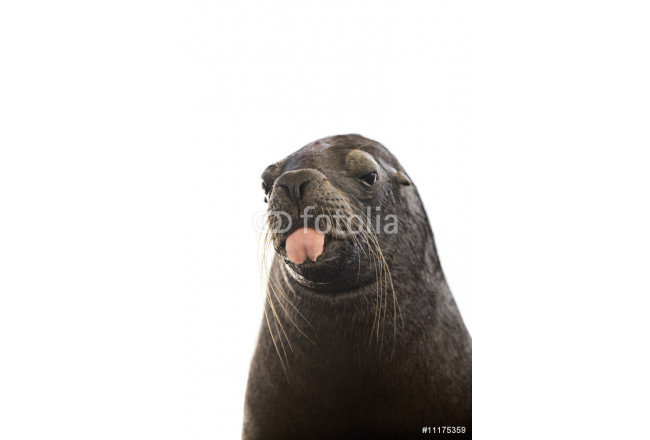 Sealion with tongue out its mouth 64239