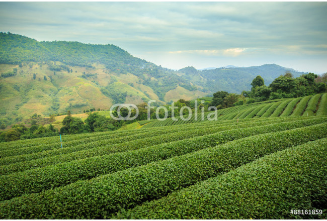 Green tea farm with blue sky background 64239