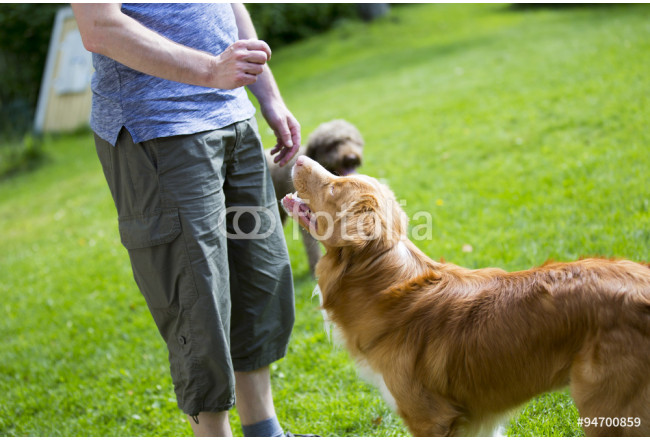 A man is training and teaching a dog in the park. The dogs breed is nova scotia duck tolling retriever also known as a toller. 64239