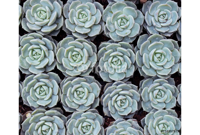 Miniature succulent plants 64239