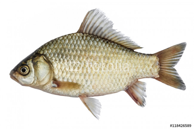 Isolated crucian carp, a kind of fish from the side. Live fish with flowing fins. River fish 64239