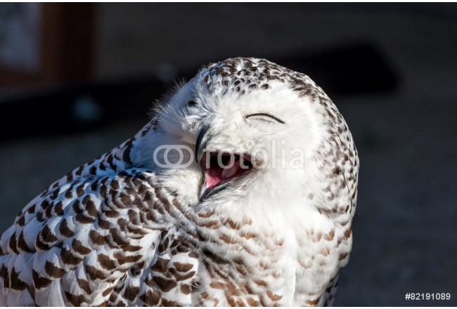 Close up of snowy owl (Bubo scandiacus) 64239