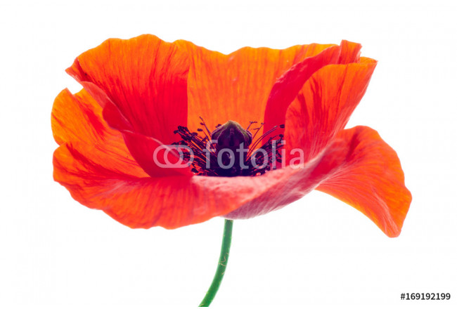 flower red poppy 64239