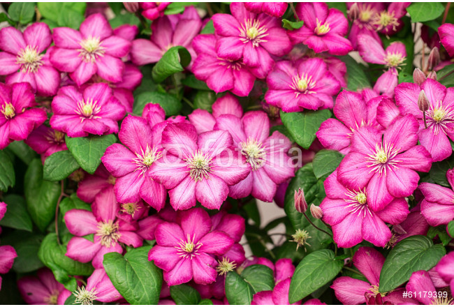 Pink clematis flowers. 64239