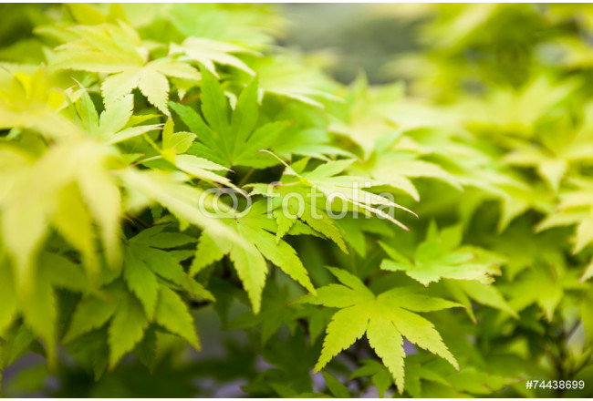 Green leaves of the Japanese maple (Acer palmatum) 64239
